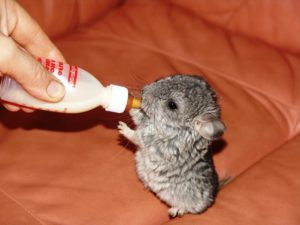 chinchilla-baby-drinking-milk1