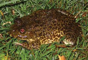 съедобные лягушки