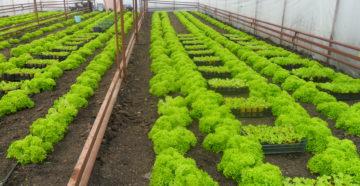Выращивание зелени в теплицах как бизнес 46